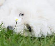 Stående: Huvudet av en original- bomullsde Tuléar hund gillar maltes Arkivbilder