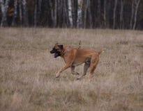 Stående i rörelse En sällsynt avel av hunden - söder - afrikan Boerboel Royaltyfria Foton