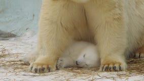 STÅENDE: Isbjörnen att bry sig hennes sova gröngöling i en zoo i en vinter stock video
