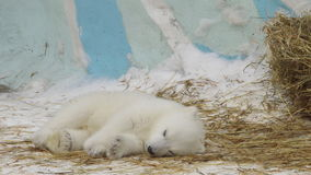 STÅENDE: Isbjörngröngölingen sover i en zoo i en vinter arkivfilmer
