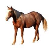 Stående isolerad bild av det stora hästanseendet Arkivfoto