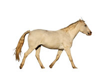 Stående isolerad bild av stort galoppera för häst Royaltyfri Foto