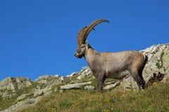 Stående manlig alpin stenbock med stora horn Royaltyfria Foton