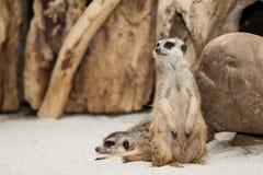 Stående Meerkat Arkivfoton