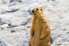 Stående murmeldjur Fotografering för Bildbyråer