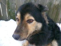 Stående näsa, gulligt, älsklings-, lyckligt, vitt som ser, hår, vän, barn, framsida, ögon, natur, svart, hund Royaltyfri Foto