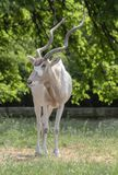 Stående på antilopaen Adax Arkivbilder