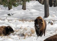 Stående raksträcka för Snöig-näsa buffel under solen fotografering för bildbyråer