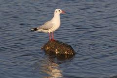 Stående seagull Royaltyfri Bild