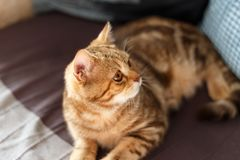 Stående som är gullig av ett skotskt rakt för kattunge arkivfoto