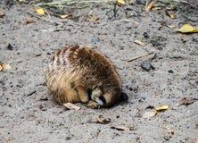 Stående som sover meerkat arkivfoton