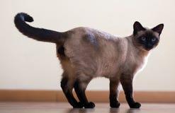 Stående ung vuxen siamese katt Royaltyfria Bilder