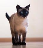 Stående vuxen Siamese katt Arkivbilder