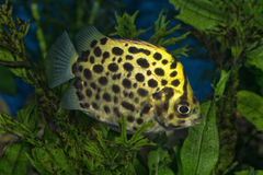 Stående & x28; Scatophagus argus& x29; fisk i akvarium Royaltyfri Foto