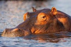 Ståendeflodhäst, flodhästamphibius, Chobe, Namibia royaltyfria bilder