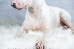 Ståendefoto av den Bull terrier hunden med tomt blått utrymme arkivbild