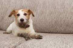 Ståendehundofog Den smutsiga stålar russell som spelar på soffamöblemang med lerigt, tafsar och det skyldiga uttryckt arkivbild