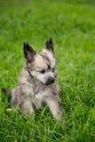 Ståenden av älskvärd kines för pudervippavalpaveln krönade hundsammanträde i det gröna gräset på sommardag royaltyfria bilder