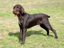 Ståenden av den bohemiska tråd-haired peka Griffon hunden arkivbilder