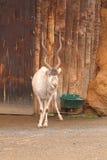 Ståenden av den djura addaxen i zoologiskt parkerar Arkivbilder