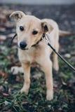 Ståenden av den gulliga guld- valpen med ledsna blåtiror och sinnesrörelser parkerar in Hundskydd Förskräckt hemlös vovve som går arkivfoton