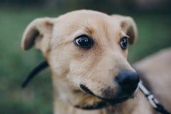 Ståenden av den gulliga guld- valpen med ledsna blåtiror och sinnesrörelser parkerar in Hundskydd Förskräckt hemlös vovve som går arkivbild