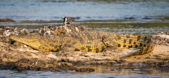 Ståenden av den härliga gula guld- nile krokodilen som lägger på, vaggar på Zambezi River på Katima Mulilo, Namibia, Afrika arkivbild