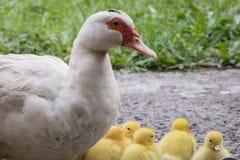 Ståenden av den modermuscovy anden och gruppen av gulligt gult fluffigt behandla som ett barn ankungar, djurt familjbegrepp arkivbild