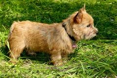 Ståenden av den Norwich Terrier valpen i en trädgård royaltyfria bilder
