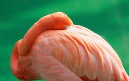 Ståenden av den orange flamingo hastar dess huvud i vingar, medan se kameran arkivbilder