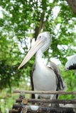 Ståenden av den vita pelikan Royaltyfri Bild