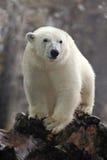Ståenden av den vita stora djura isbjörnen med den andra suddiga björnen i bacgroun och snö flagar Arkivfoton