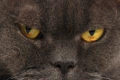 Ståenden av en grå katt med guling synar closeupen Royaltyfri Foto