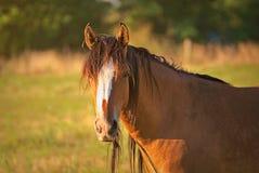 Ståenden av en häst frigör på ett fält i Argentina arkivbild