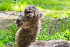 Ståenden av en kamel behandla som ett barn Royaltyfria Bilder