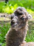 Ståenden av en kamel behandla som ett barn Fotografering för Bildbyråer