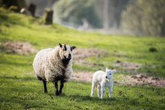 ståenden av ett får med lammet i bygd, brecon leder royaltyfri fotografi