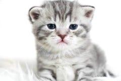 Ståenden av ett härligt behandla som ett barn kattungen med blåa ögon Arkivfoton