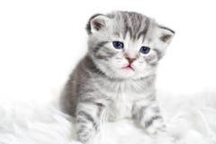 Ståenden av ett härligt behandla som ett barn kattungen med blåa ögon Royaltyfria Foton