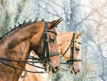 Ståenden av för champagnedressyr för fjärden och för pärlan guld- hästar, vinter parkerar med frostade träd som en bakgrund Royaltyfri Fotografi