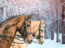 Ståenden av för champagnedressyr för fjärden och för pärlan guld- hästar, vinter parkerar med frostade träd som en bakgrund Arkivfoto