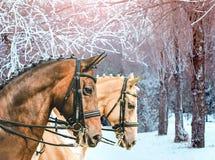 Ståenden av för champagnedressyr för fjärden och för pärlan guld- hästar, vinter parkerar med frostade träd som en bakgrund Royaltyfri Foto