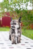 Ståenden av förtjusande kines för powderpuffvalpaveln krönade hundanseende på tabellen på sommardag arkivbilder