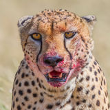 Ståenden av gepardhuvudet, blodar ner från Gorging Arkivbilder