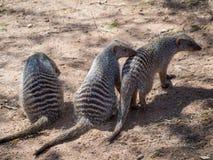 Ståenden av gruppen av tre satte band mungor- eller MungosMungodjur, den Chobe flodnationalparken, Botswana, sydliga Afrika Arkivbild