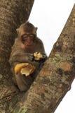Ståenden av gulligt behandla som ett barn apan som äter bananen Royaltyfria Bilder