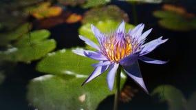 Ståenden av lilor waterlily eller lotusblommablomman som blommar på solnedgångögonblicket, den selektiva fokusen, abstrakt textur Arkivbild