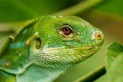 Ståenden av manliga Fiji satte band på den leguanBrachylophus fasciatusen Fotografering för Bildbyråer