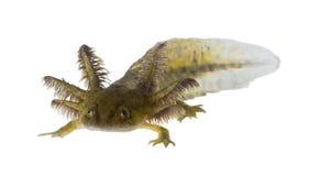 Ståenden av roliga Axolotls är medlemmar av Ambystomatigrinuen Fotografering för Bildbyråer