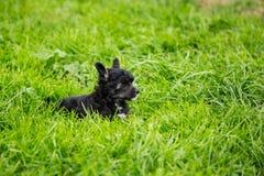 Ståenden av svart kines för pudervippavalpaveln krönade hunden som ligger i det gröna gräset på sommardag arkivbilder